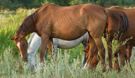 Many horses on green meadow Royalty Free Stock Images