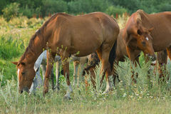 Many horses on meadow Stock Photography