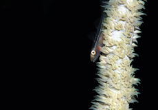 Many-host Goby. (Pleurosicya Mossambica) on a Whip Coral, Lembeh Strait, Indonesia Stock Photography