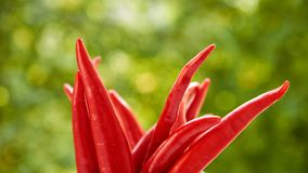 Many hot red chili peppers on blurred green nature background Royalty Free Stock Photography