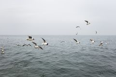 Many hungry seagulls flying in cloudy sea Royalty Free Stock Images