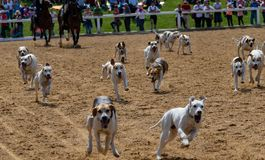 Hunting dogs at a stud show. Many Hunting dogs at a stud show royalty free stock photography