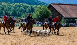 Hunting rider with many dogs at a stud show royalty free stock images