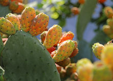 Many Indian fig opuntia or Prickly pear  in the cactus Stock Images