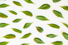 Many isolated green leaves pattern on white background. Flat lay top view texture for banner.  royalty free stock photos