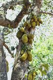 Many Jack fruits on tree,Bunch of jack fruits on a tree. Jack fruit is very helpful it has a lot of vitamins and has a very pungent odor Stock Photography
