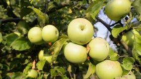Ripe apples on tree stock video footage