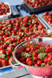 Many Juicy Strawberries in containers. Juicy red strawberries in a colander and cookie sheets Stock Image