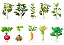 Many kind plant of vegetables with roots illustration royalty free illustration