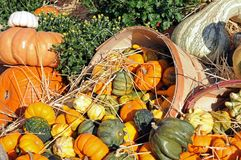 Many kinds of pumpkins, gourds, and squashes Royalty Free Stock Photo