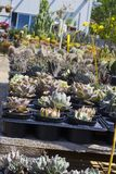 Many kinds of succulents and cactuses sold in flower shop royalty free stock image