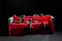 Many kittens. Many British Shorthair kittens on a couch, photo studio with black background Stock Photos
