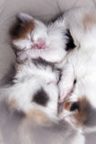 Sleeping kittens. Many kittens sleeping together in bed Royalty Free Stock Photography