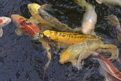 Many koi carp Royalty Free Stock Photo