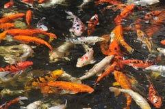 Many koi carp multicolor Stock Photo