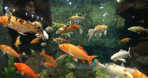 Many Koi carp Stock Photo