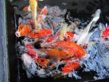 Many Koi Fish So Colourfull