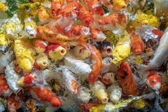 Many koi fish swim in the pond.shallow focus effect. Colorful koi fish in a beautiful pool,Details of the fish in the pond,fancy carp pink and white with orange stock photo