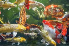 Many koi fish swim in the pond.shallow focus effect. Colorful koi fish in a beautiful pool,Details of the fish in the pond,fancy carp pink and white with orange royalty free stock image