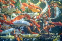 Many koi fish swim in the pond.shallow focus effect. Colorful koi fish in a beautiful pool,Details of the fish in the pond,fancy carp pink and white with orange stock images