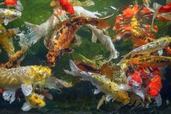 Many koi fish swim in the pond.shallow focus effect. Colorful koi fish in a beautiful pool,Details of the fish in the pond,fancy carp pink and white with orange stock image