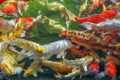 Many koi fish swim in the pond.shallow focus effect. Colorful koi fish in a beautiful pool,Details of the fish in the pond,fancy carp pink and white with orange royalty free stock photo