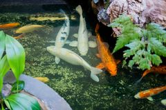 Many of koi fish swiming in the pond. Many of koi fish swiming in the pond traditional, japanese Stock Photos