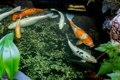 Many of koi fish swiming in the pond. Many of koi fish swiming in the pond traditional, japanese Stock Photography