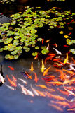 Many Koi in lotus pond stock image