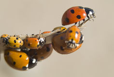 Many ladybugs on a branch. On white Stock Photos
