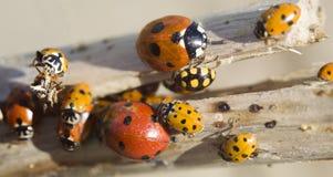 Many ladybugs on a branch. On white Stock Photo