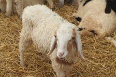 Many lambs on the farm. Royalty Free Stock Image