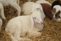 Many lambs on the farm. Royalty Free Stock Photography