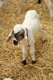 Many lambs on the farm. Many lambs on the farm Royalty Free Stock Photos