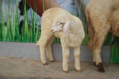 Many lambs on the farm. Royalty Free Stock Photo
