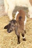 Many lambs on the farm. Stock Photo