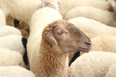 Many lambs on the farm. Royalty Free Stock Images