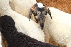 Many lambs on the farm. Stock Photography