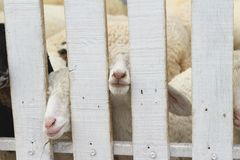 Many lambs on the farm. Stock Images