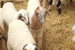Many lambs on the farm. Stock Photos