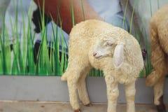 Many lambs on the farm. Royalty Free Stock Photos