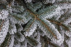 Many large Christmas trees and branches were eaten in white snow for the new year royalty free stock photography