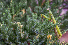 Many large insect, a praying mantis in the garden Royalty Free Stock Images
