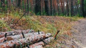 Large logs felled in the forest on the ground. The problem of deforestation.Felled tree trunks in the forest. Many large logs felled in the forest on the ground stock video footage
