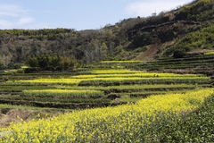 Many layers of terraced fields on the hillside, someone in the field. Yellow green interval, the layer cascade folds, the color contrast is obvious Royalty Free Stock Image