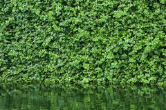 Many leafs of ivy cover a wall Stock Photography