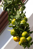 Many lemons mandarins hanging on branch in single line. Part of the fruit is not yet ripe. Citrus Stock Image