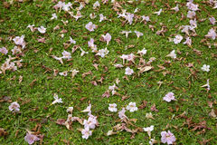 Many light pink flower on green grass Royalty Free Stock Photo