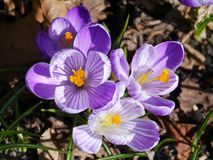Many lilac crocuses in a park in spring Stock Photos