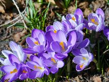 Many lilac crocuses in a park in spring Royalty Free Stock Image